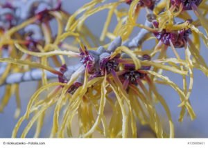 HAMAMELIS_superfoods