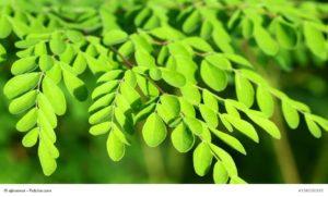 MORINGA_natur-heilmittel