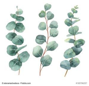 eukalyptus-oel