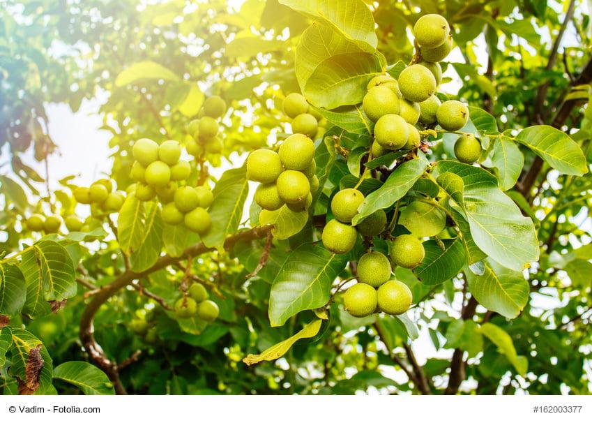 Macadamia Nuss am Baum