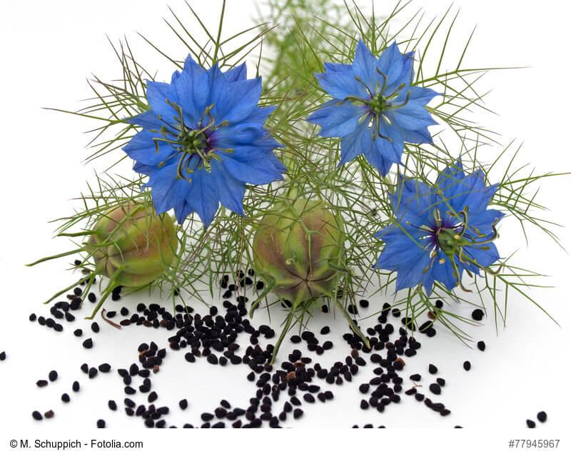 schwarzkuemmel-pflanze